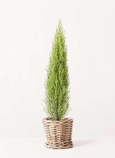 観葉植物 ゴールドクレスト 4号 ノーマル グレイラタン 付き