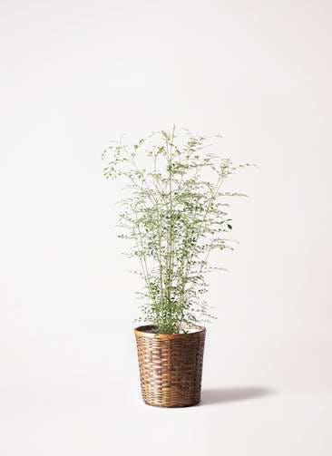 観葉植物 シマトネリコ 6号 竹バスケット 付き