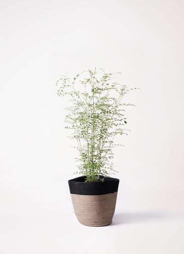 観葉植物 シマトネリコ 6号 リブバスケットNatural and Black 付き