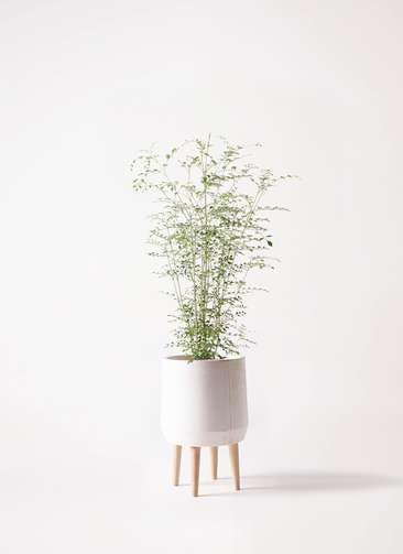 観葉植物 シマトネリコ 6号 ファイバークレイ white 付き