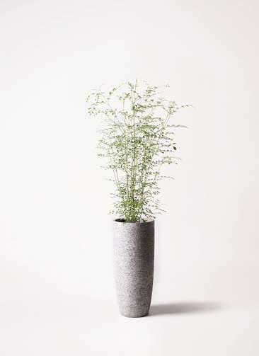 観葉植物 シマトネリコ 6号 エコストーントールタイプ Gray 付き