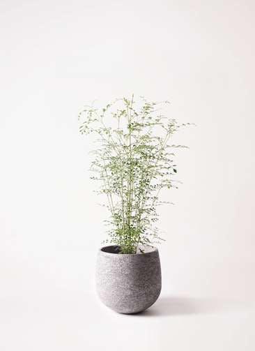 観葉植物 シマトネリコ 6号 エコストーンGray 付き