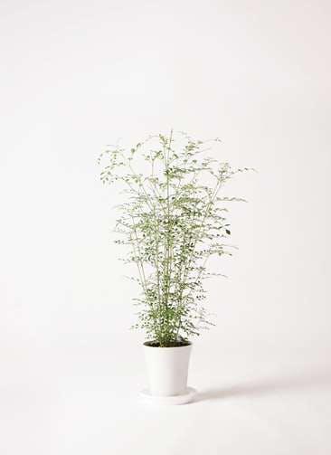 観葉植物 シマトネリコ 6号 プラスチック鉢