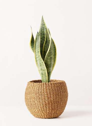 観葉植物 サンスベリア 4号 トラノオ アバカバスケット タン 付き
