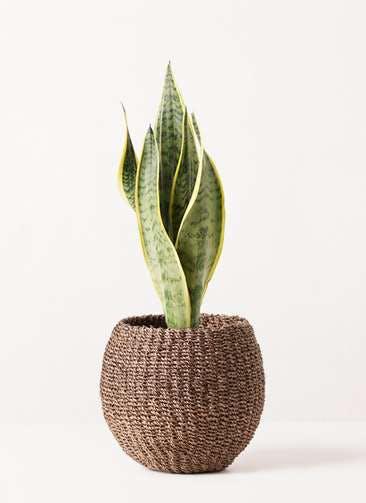 観葉植物 サンスベリア 4号 トラノオ アバカバスケット スモーク 付き