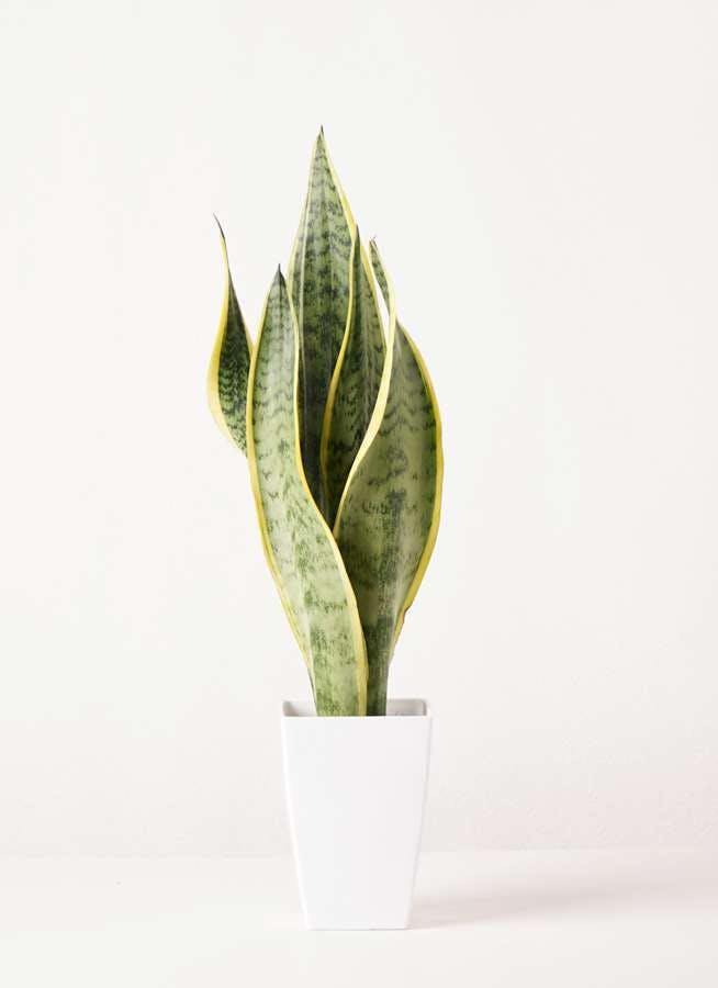 観葉植物 サンスベリア 4号 トラノオ プラスチック鉢