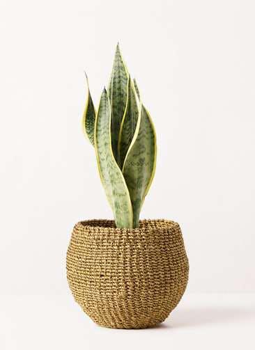 観葉植物 サンスベリア 4号 トラノオ アバカバスケット オリーブ 付き