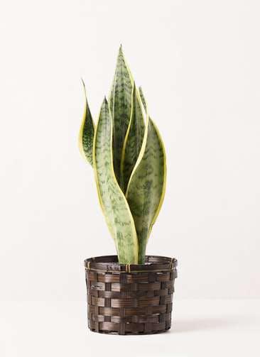 観葉植物 サンスベリア 4号 トラノオ 竹バスケット 付き