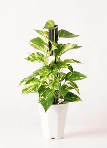 観葉植物 ポトス 4号 プラスチック鉢