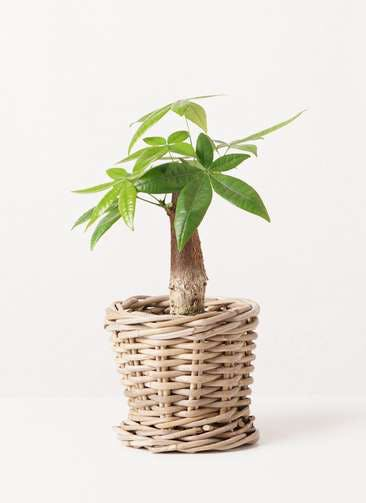 観葉植物 パキラ 4号 朴 グレイラタン 付き