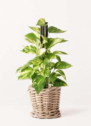 観葉植物 ポトス 4号 グレイラタン 付き