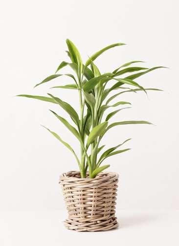 観葉植物 ドラセナ サンデリアーナ ゴールド 4号 グレイラタン 付き