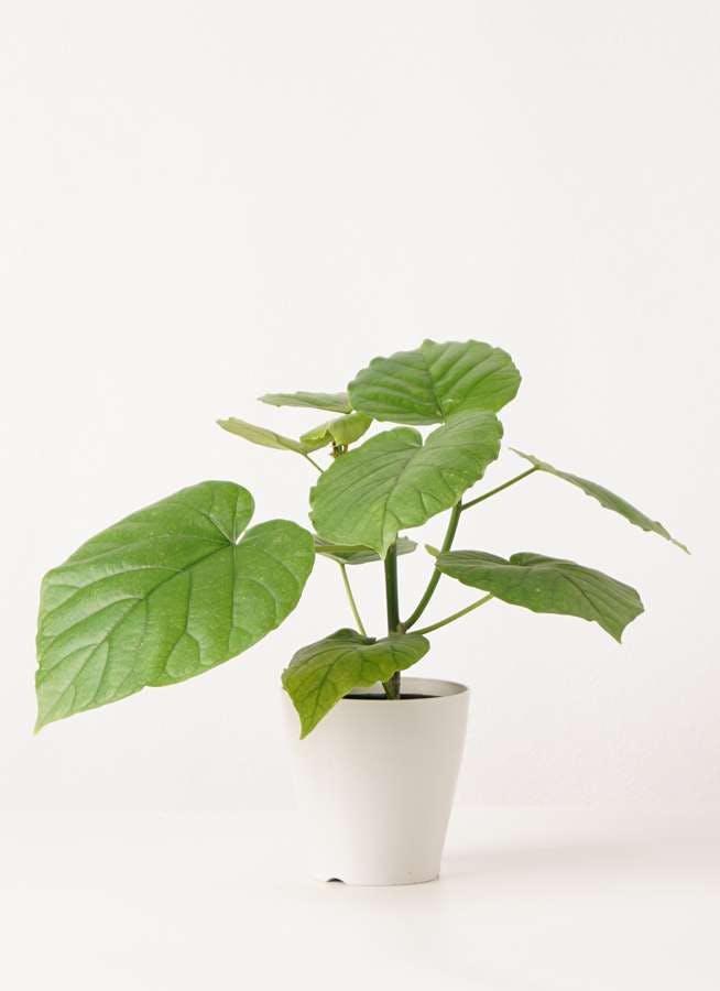 観葉植物 フィカス ウンベラータ 4号 ノーマル プラスチック鉢
