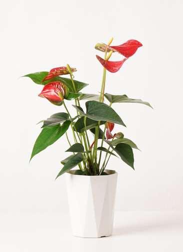 観葉植物 アンスリウム 4号 ダコタ プラスチック鉢