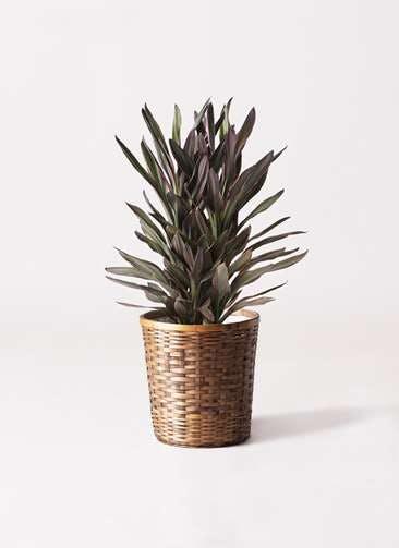 観葉植物 コルディリネ (コルジリネ) サンゴ 6号 竹バスケット 付き