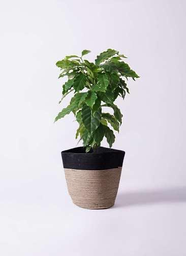 観葉植物 コーヒーの木 6号 リブバスケットNatural and Black 付き