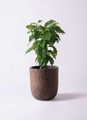 観葉植物 コーヒーの木 6号 ビトロ ウーヌム コッパー釉 付き
