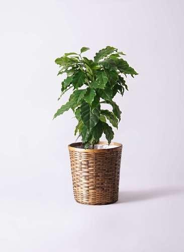 観葉植物 コーヒーの木 6号 竹バスケット 付き