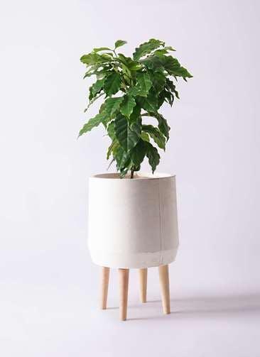観葉植物 コーヒーの木 6号 ファイバークレイ white 付き