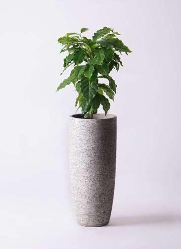 観葉植物 コーヒーの木 6号 エコストーントールタイプ Gray 付き