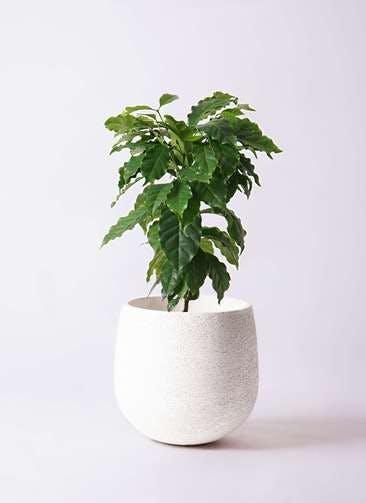 観葉植物 コーヒーの木 6号 エコストーンwhite 付き