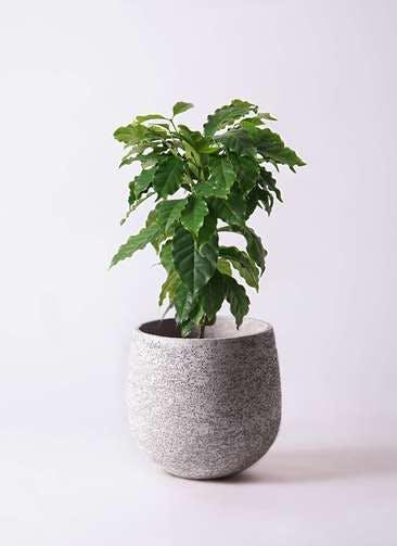 観葉植物 コーヒーの木 6号 エコストーンGray 付き