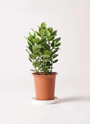 観葉植物 クルシア ロゼア プリンセス 6号 プラスチック鉢