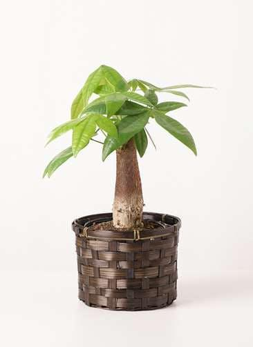 観葉植物 パキラ 4号 朴 竹バスケット 付き