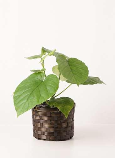 観葉植物 フィカス ウンベラータ 4号 ノーマル 竹バスケット 付き