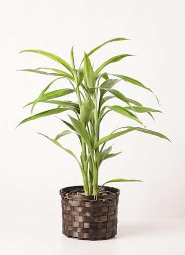 観葉植物 ドラセナ サンデリアーナ ゴールド 4号 竹バスケット 付き