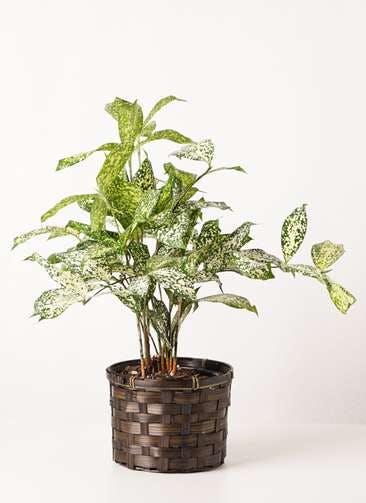 観葉植物 ドラセナ ゴッドセフィアーナ 4号 竹バスケット 付き