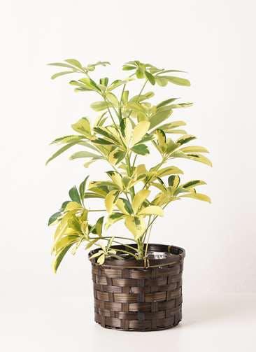 観葉植物 カポック(シェフレラ) 4号 斑入り 竹バスケット 付き