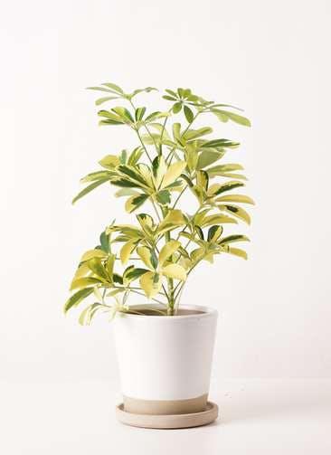 観葉植物 カポック(シェフレラ) 4号 斑入り マット グレーズ テラコッタ ホワイト 付き