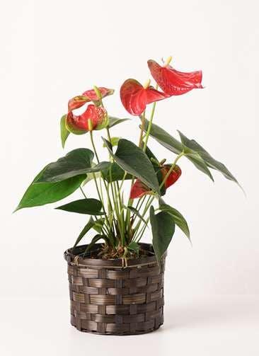観葉植物 アンスリウム 4号 ダコタ 竹バスケット 付き