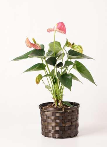 観葉植物 アンスリウム 4号 ピンクチャンピオン 竹バスケット 付き