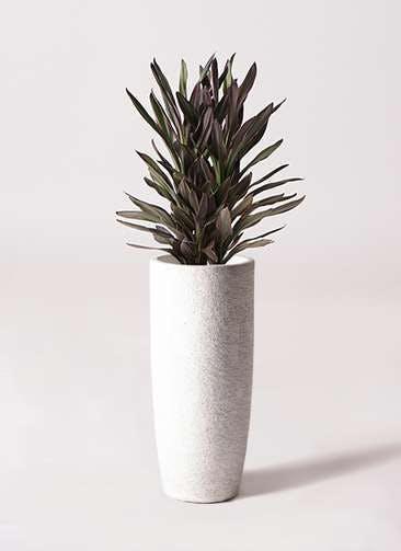 観葉植物 コルディリネ (コルジリネ) サンゴ 6号 エコストーントールタイプ white 付き