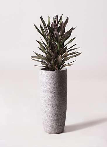 観葉植物 コルディリネ (コルジリネ) サンゴ 6号 エコストーントールタイプ Gray 付き