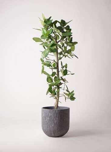 観葉植物 フィカス ベンガレンシス 10号 ストレート カルディナダークグレイ 付き