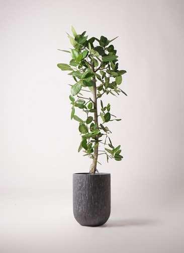 観葉植物 フィカス ベンガレンシス 10号 ストレート カルディナトールダークグレイ 付き