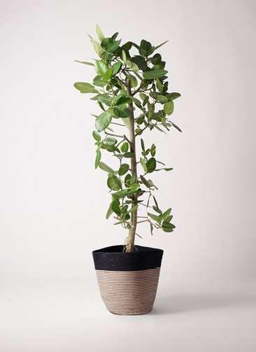 観葉植物 フィカス ベンガレンシス 10号 ストレート リブバスケットNatural and Black 付き