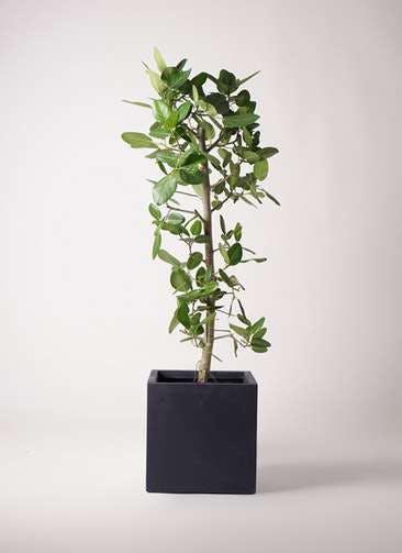 観葉植物 フィカス ベンガレンシス 10号 ストレート ベータ キューブプランター 黒 付き