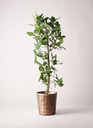観葉植物 フィカス ベンガレンシス 10号 ストレート 竹バスケット 付き
