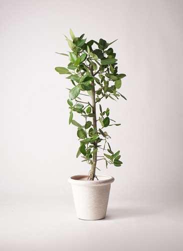 観葉植物 フィカス ベンガレンシス 10号 ストレート ビアスリムス 白 付き