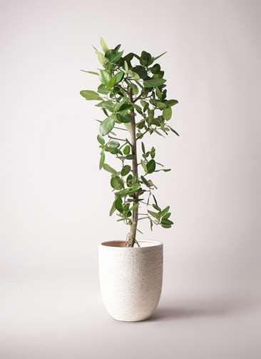観葉植物 フィカス ベンガレンシス 10号 ストレート ビアスアルトエッグ 白 付き
