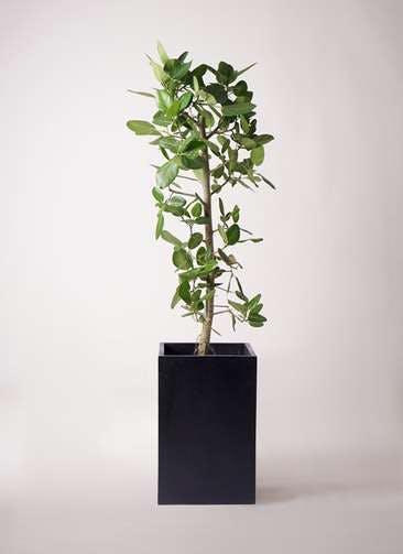 観葉植物 フィカス ベンガレンシス 10号 ストレート セドナロング 墨 付き