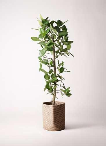 観葉植物 フィカス ベンガレンシス 10号 ストレート リブバスケットNatural 付き