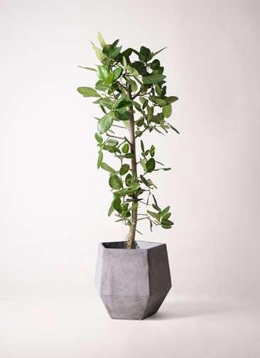 観葉植物 フィカス ベンガレンシス 10号 ストレート ファイバークレイGray 付き