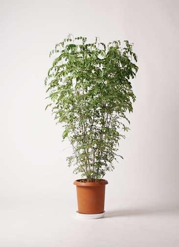 観葉植物 シマトネリコ 10号 プラスチック鉢