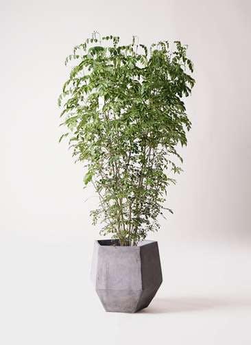 観葉植物 シマトネリコ 10号 ファイバークレイGray 付き
