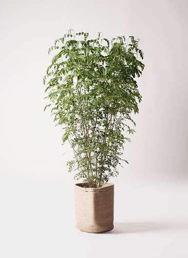 観葉植物 シマトネリコ 10号 リブバスケットNatural 付き